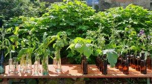 Heilkräuter u. essbare Wildpflanzen